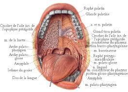 interieur corps humain femme la bouche la porte du système digestif