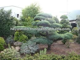 pot bonsai grande taille grand arbre de pin pot bonsaï à vendre buy product on alibaba