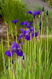 caesar s siberian iris monrovia caesar s
