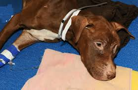 UPDATE: Dog Left To Starve To Death In Suitcase Shows Signs Of ... Nyc Aspca New York City November 14 2015 Stock Photo 100 Legal Protection Looking Back At 2017 A Remarkable Year For Animals And The Animal Health More In Our Hands Rescue Ways To Give Donate Charitable Ctributions Orange Car Seat Cover Dogs Walmartcom Stellas Spay Day With Mobile Spayneuter Clinic Youtube These Oldtimey Photos Hlight 150 Years Of The Saving Grants American Society Prevention Of Cruelty Aspca Hashtag On Twitter