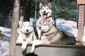 what causes thin coats on husky dogs pets