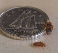 Bed Bugs Pictorial Their Nests Black excrements and Eggs