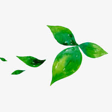 Green Tea Leaf PNG Image And Clipart
