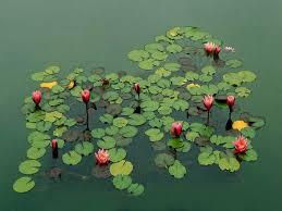 fleur et plante du lac photos de nénuphars le journal du jardin
