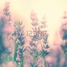 Beautiful Vintage Lavender Flower Photo In Sunset Retro Color Effect Used Stock
