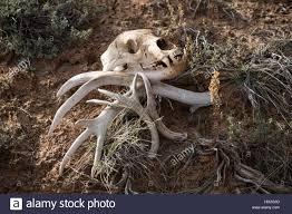 Moose Shed Antler Forums by Sheds Antlers Stock Photos U0026 Sheds Antlers Stock Images Alamy