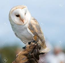 3459334-Barn-Owl-perched-on-handlers-glove-Stock-Photo-owl.jpg ... Watch The Secret To Why Barn Owls Dont Lose Their Hearing 162 Best Owls Images On Pinterest Barn And Children Stock Photos Images Alamy Owl 10 Fascating Facts About Species List Az 210 Birds Drawing Photographs Of Cave By Tyler Yupangco 312 Beautiful Birds