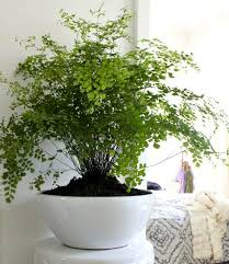 Best Pot Plant For Bathroom by Best 25 Indoor Ferns Ideas On Pinterest Flowering House Plants