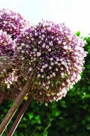 fall bulbs allium globe master bulbs flowers