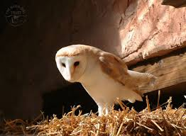 Barn Owls Barn Owl Front View Wood Carving My Carvings Pinterest Audubon Field Guide Spring2015vcuornithology The Owls Perch Uncommon Tyto Alba Species Paris Best 25 Owls Ideas On Beautiful Owl And Bee Alerts Scribble Scrabble Babble Schiereule Adult In Gliding Flight
