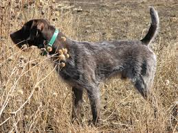 German Shorthaired Pointer Shedding by Fancy Dog Breeds Photo Dog Breeds Puppies Types Of Fancy Dog Breeds
