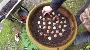 planting tulip bulbs in pots