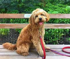 do cavapoos shed a lot understanding the growing popularity of the cavapoo