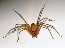 Arachnids – Lectures And Ramblings Of A Crazy Bug Lady Spiders At Spiderzrule The Best Site In World About Spiders Barn Funnel Weaver Spider North American Insects Bug Eric Thinlegged Wolf Genus Pardosa Grass How To Tell If A Spider Is Not Brown Recluse Spiderbytes