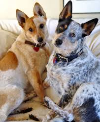 Blue Heeler Mix Shedding by 9 Do Blue Heelers Shed Blue Heeler Border Collie Mix For