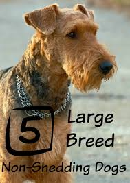 Top Dogs That Dont Shed Hair by Large Dog Breeds Non Shedding Maconbourgogne