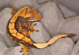 Crested Gecko Shedding Signs by About The Crested Gecko