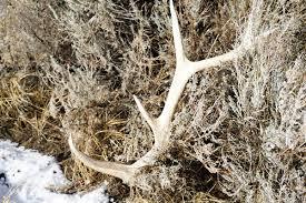 4 veteran tricks for hunting elk sheds petersen s hunting