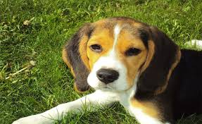 Quiet Small Non Shedding Dog Breeds by Small Dog Breeds