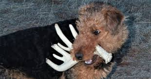 Do Airedale Puppies Shed by My Dog The Debater Article By Bob Speirs