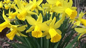 daffodil flower bulbs narcissus american