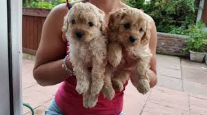 Cavapoos Do They Shed by Beautiful Cavapoo X Toy Poodle Manchester Greater Manchester