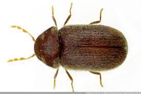 braune käfer in haus und wohnung was ist zu tun