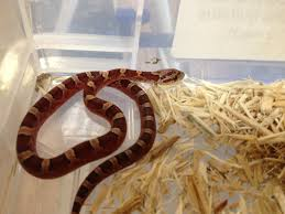 Corn Snake Shedding Time by Pet Shop Gloucester Corn Snake Care Sheet Angell Pets U2013 The