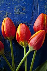 652 best Tulips images on Pinterest