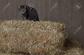 Barn Cat Sitting On Top Of Bales Of Straw Ready To Pounce Stock ... Ferals Strays And Barn Cats Cat Tales Tuesdays Fun And Aww My Moms Is Gorgeous Viralspell The Care Feeding Of Timber Creek Farm Program Buddies Seeking Support For Its Catsaving Efforts Adoption Barn Cats Near Bardstown Ky Petfinder For Green Rodent Control Turn To Barn Cats The Flying Farmers Free Images Wood Old Animal Cute Wall Pet Rural Sitting On Top Of Bales Straw Ready To Pounce Stock Weve Got Hire Central Missouri Humane Society By Jsf1 On Deviantart
