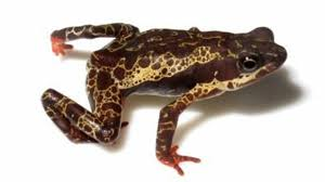 100 King Of The Frogs Deadly Fungal Disease Has Devastated More Than 500 Species Of Frogs
