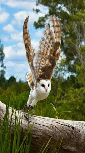 The 25+ Best Barn Owls Ideas On Pinterest | Owls, Snowy Owl And ... Catching Prey In The Dark Barn Owl Tyto Alba Owls Make A Comeback Iowa The Gazette Of Australia Australian Geographic How To Build Or Buy Nest Box Company Best 25 Ideas On Pinterest Beautiful Owl Owls And Modern Farmer Absolutely Stunning Barn Drawing From Artist Vanessa Foley Audubon California Starr Ranch Live Webcams Red By Thef0xdeviantartcom Deviantart Tattoo Scvnewscom Opinioncommentary Beautifully Adapted 9 Best Images A Smile Animal Fun