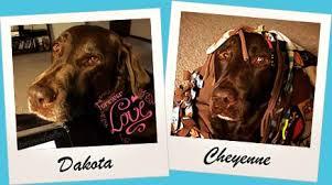 When Do Vizslas Shed Their Puppy Coat by 3 Labrador Retriever Coat Care Tips