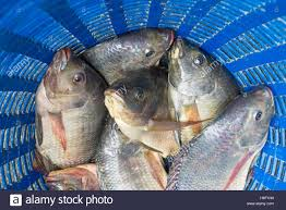 Tilapia And Nile Known As Mango Fish Nilotica In Blue Plastic Bucket Raw Fresh Freshwater Baske