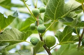 ist feigenbaum als zimmerpflanze geeignet