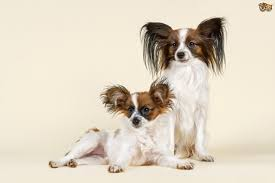 Do All Dogs Shed Their Fur by Papillon Dog Breed Information Buying Advice Photos And Facts