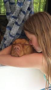 Do Vizsla Dogs Shed by 90 Best Warm Fuzzie And Cuddly Images On Pinterest Animals