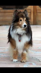 Sheltie Shedding Puppy Coat by 49 Best These Are A Few Of My Favorite Things Images On Pinterest