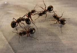 Ants in Kitchen NJ 732 640 5488