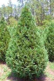 Best Smelling Christmas Tree Types by Favorite Christmas Tree Varieties South Carolina Christmas Tree