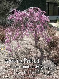 Weeping Redbud Lavender Twist