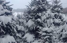 Fraser Fir Christmas Trees Nc by Papa Noel Christmas Trees