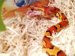 Corn Snake Shedding Signs by Tips For Bathing A Corn Snake U2013 Corn Snake