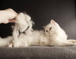 Do Maine Coons Shed In The Summer by Cat Fact 109 A Shed Built Of Hair 870 Words Catfacts