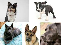 Hypoallergenic Dog Breeds That Dont Shed by Dogs That Don U0027t Shed Hypoallergenic Dog Breeds Wag Dog Walking