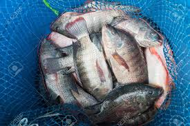 Blue Plastic Bucket Full Of Raw Fresh Freshwater Fish Tilapia And Nile Known