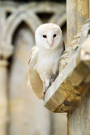 199 Best Barn Owls Images On Pinterest | Barn Owls, Beautiful Owl ... Catching Prey In The Dark Barn Owl Tyto Alba Owls Make A Comeback Iowa The Gazette Of Australia Australian Geographic How To Build Or Buy Nest Box Company Best 25 Ideas On Pinterest Beautiful Owl Owls And Modern Farmer Absolutely Stunning Barn Drawing From Artist Vanessa Foley Audubon California Starr Ranch Live Webcams Red By Thef0xdeviantartcom Deviantart Tattoo Scvnewscom Opinioncommentary Beautifully Adapted 9 Best Images A Smile Animal Fun