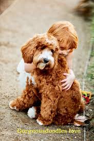Dogs That Shed The Least by Labradoodle Puppies Gorgeous Doodles Australian Labradoodle