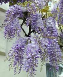 planting wisteria in a pot wisteria tree care how to grow these climbing shrubs