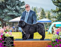 Do Newfoundlands Shed Hair by Newfie Archives Twbrown